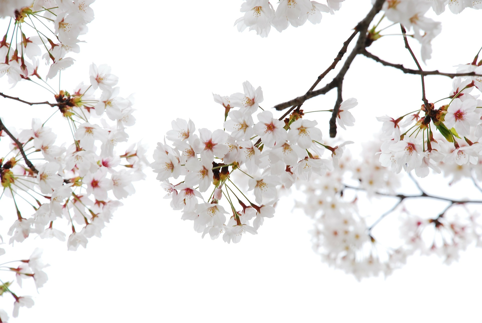 cherry-flowers-94817_1920.jpg